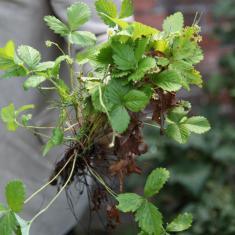 Wild Strawberries. Trengwainton Garden