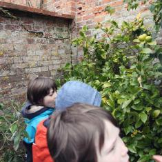 Looking for lemons in walled vegetable garden, Trengwainton