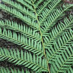Tree ferns, Trengwainton.