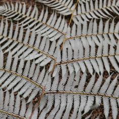 Silver Tree Fern, Trengwainton. Photo © Barbara Santi.
