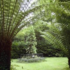 The Wollemi Pine through the ferns