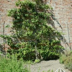 Pear Tree, Trengwainton.