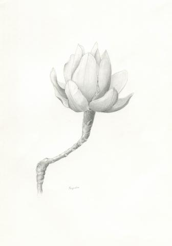 Magnolia. © Jamila Hirtenstein