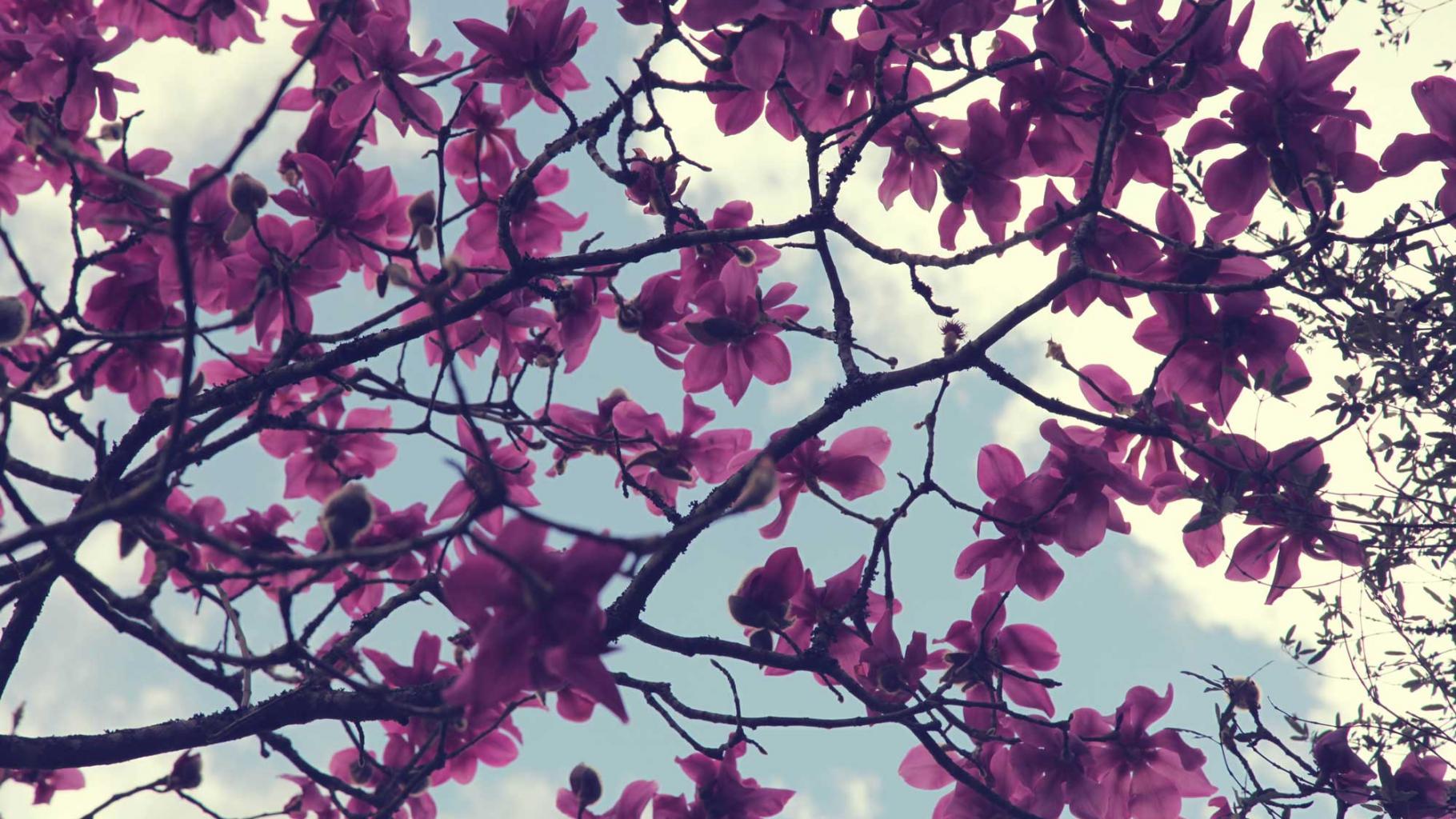 Magnolia 'campbellii', Trengwainton