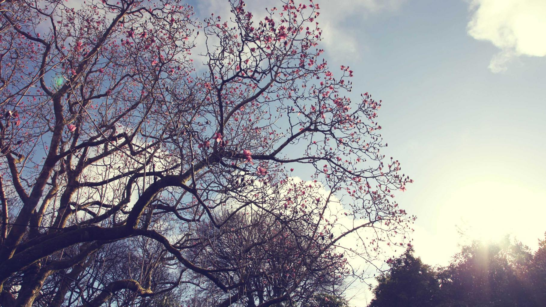 Magnolia's, Trengwainton